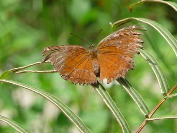 亞泥之樺蛺蝶一.JPG
