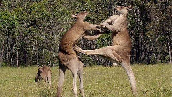kangaroo-street-fight