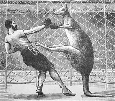 kangaroo-boxing.png