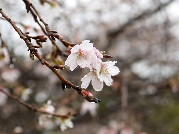 1111-彥根城二季櫻