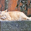 江之島貓咪2