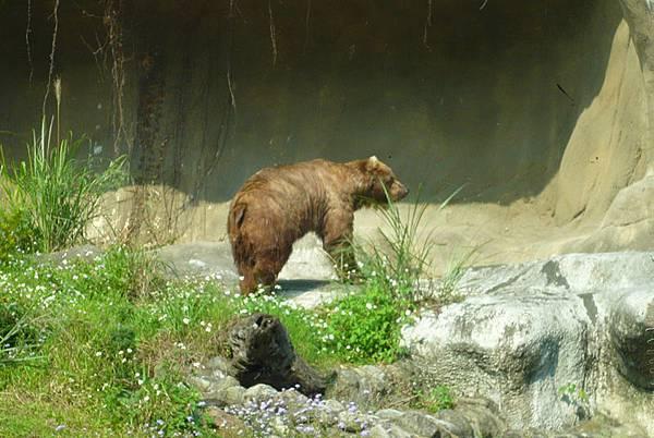 棕熊.jpg