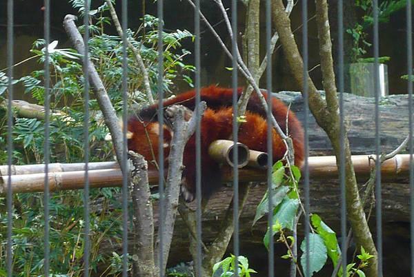 小熊貓.jpg
