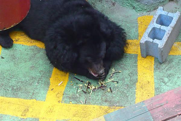 台灣黑熊1.jpg