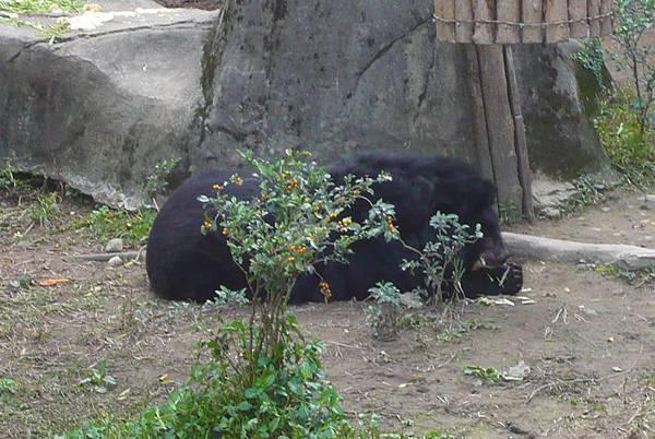 台灣黑熊3.jpg
