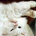 白貓-4.jpg