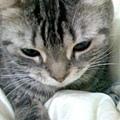 美國短毛貓-2.jpg
