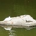 0909龜與鴨.jpg