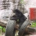 0928-自得其樂的台灣黑熊.jpg