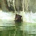 0928-棕熊入浴.jpg