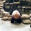 0928-熊貓喝水.jpg