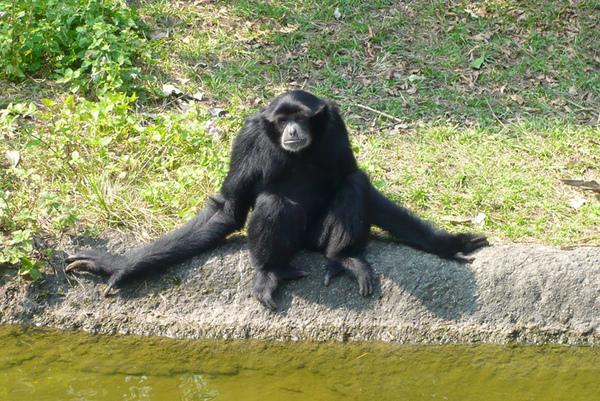 長臂猿2.jpg