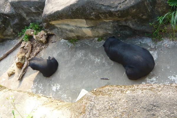 台灣黑熊2.jpg