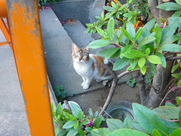 秋葉原街貓