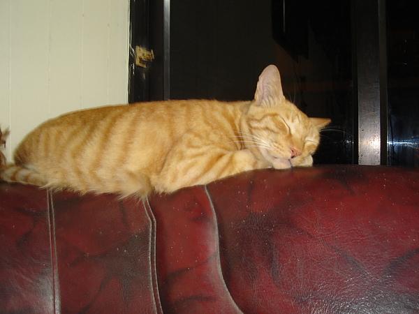 沙發上睡很熟的老貓