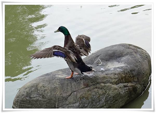 綠頭鴨.JPG