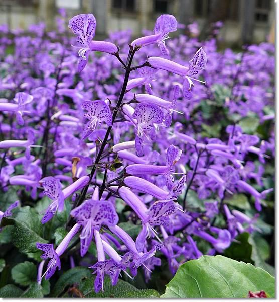 紫鳳凰花.JPG