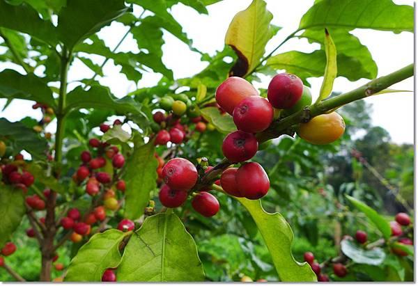 咖啡樹 (2).JPG
