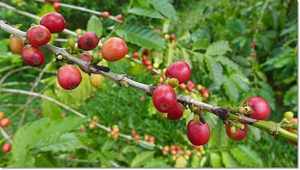 咖啡樹 (3).JPG
