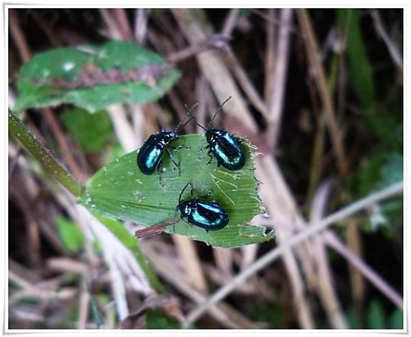 藍金花蟲.JPG