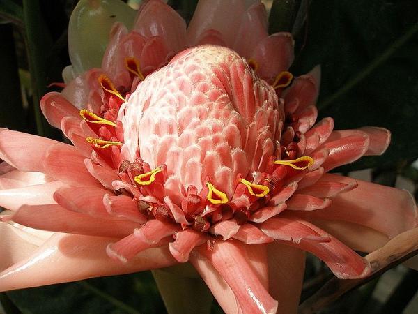 bunga kecombrang.jpg