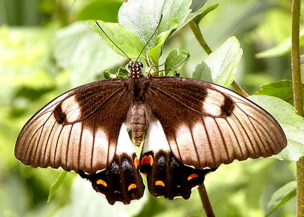 Orchad swallowtail.jpg