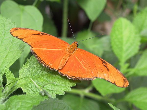 800px-Julia-heliconian-butterfly.jpg