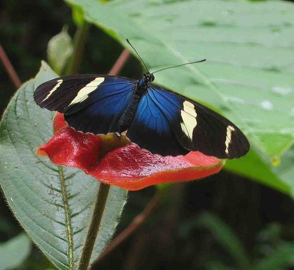 651px-Butterfly_panama.jpg