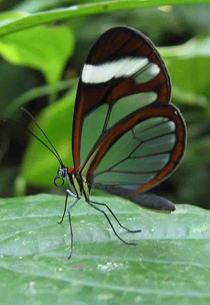413px-Glasswing_butterfly_Panama.jpg