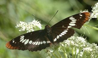 Buberel_butterfly.jpg