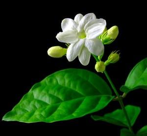 bunga melati.jpg