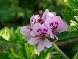 玫瑰天竺葵