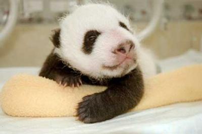 panda_baby_14sfw1.jpg