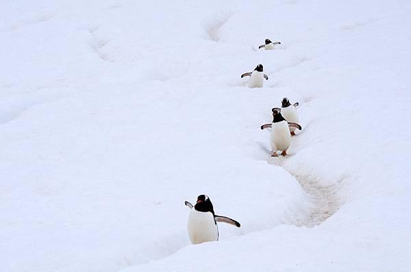 Gentoo_Penguin_AdF
