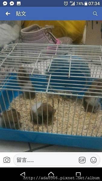 黃金鼠來源2.jpg