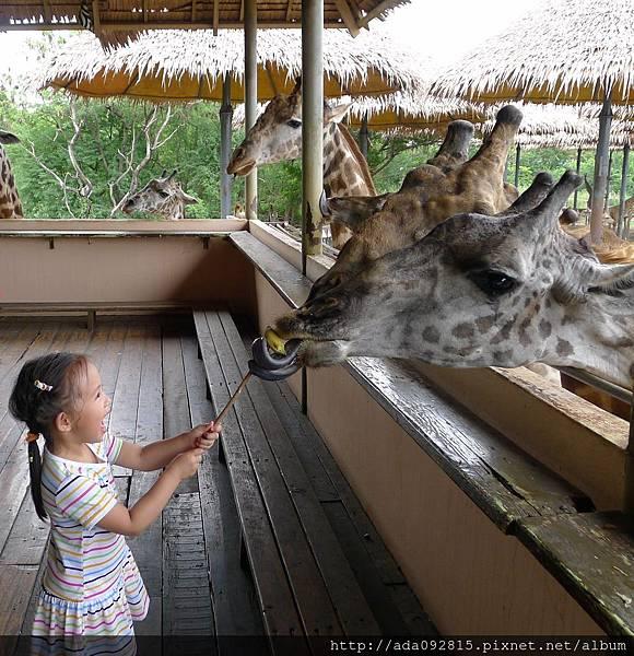 餵長頸鹿.JPG