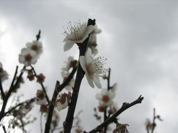 梅園裡的梅花