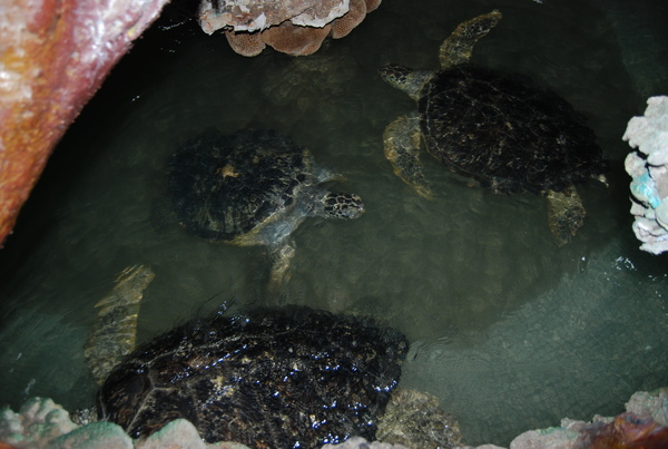 很大的綠蠵龜, 共有五隻喔...