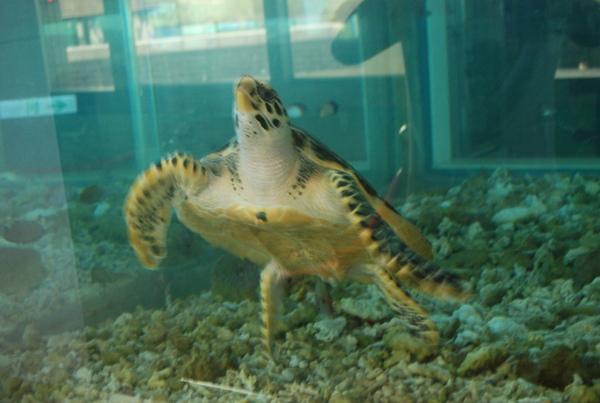 這裡的綠蠵龜沒有大義宮那麼大隻