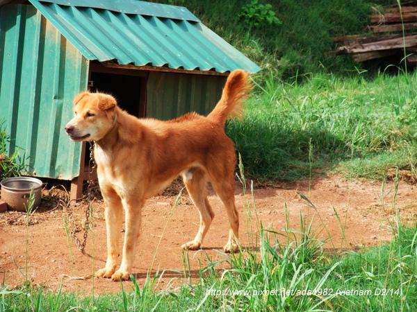 老外是富國島的狗, 體格很好...