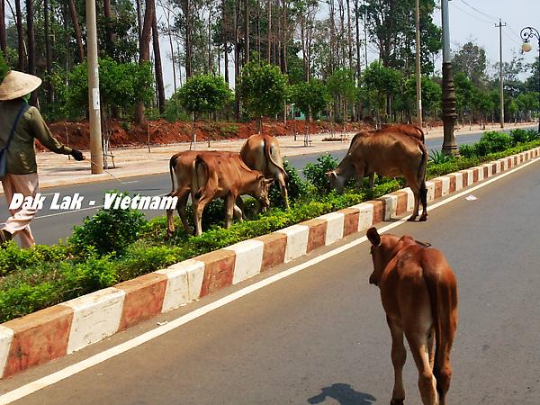 這些牛無視於車的存在