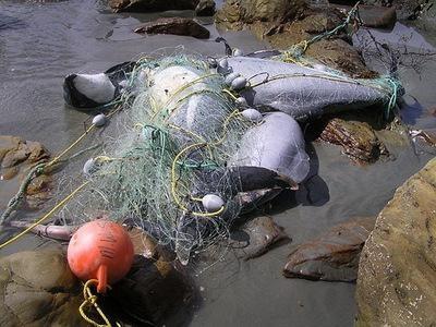 瀕臨絕種的毛伊海豚-2.jpg