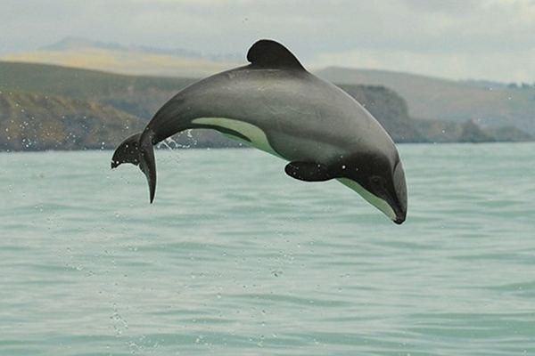 瀕臨絕種的毛伊海豚-3.jpg