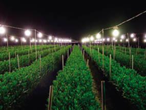 電照菊花     用人工加光或遮光,調節氣溫及濕度等即能將秋菊提前開花,將夏菊延遲開花