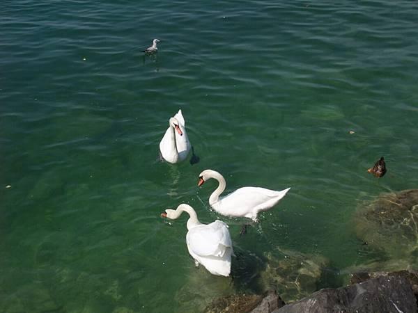優游自在的鵝