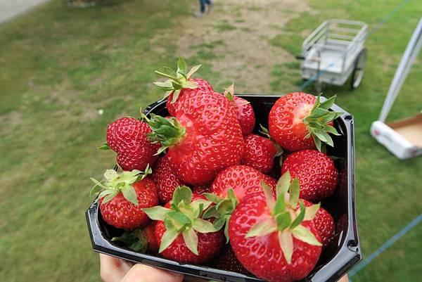 享用酸甜草莓 (2).JPG