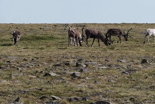 麋鹿群 (4).JPG