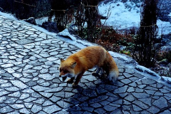 北海道大雪山赤狐.jpg