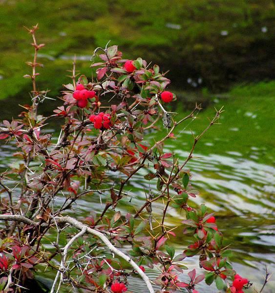 紅刺果.jpg