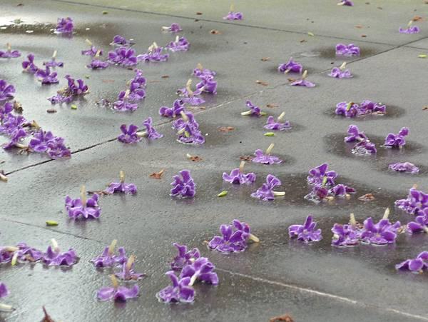 一地紫花.jpg